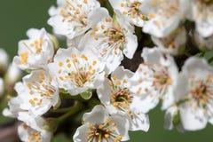 blomstra plommon Arkivfoton
