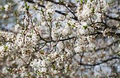 blomstra plommon Fotografering för Bildbyråer