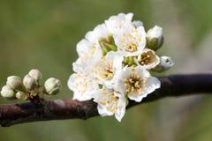 blomstra plommon Royaltyfria Foton