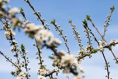 blomstra plommon Arkivbild