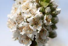 blomstra plommon Royaltyfri Fotografi