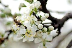 blomstra plommon Romantiskt vårfoto Fotografering för Bildbyråer