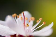 blomstra plommonet Royaltyfria Bilder