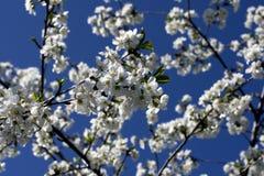 blomstra plommontree Fotografering för Bildbyråer