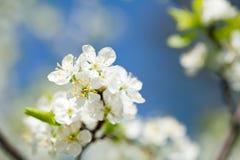 Blomstra plommontree för härlig fjäder Royaltyfri Fotografi