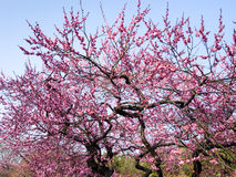 blomstra plommontrees Royaltyfria Bilder