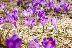 Blomstra purpurfärgade krokusblommor royaltyfri foto