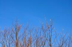 Blomstra pussy-pilen förgrena sig på blå himmel, den tidiga våren, easter bakgrund Royaltyfri Foto
