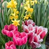 Blomstra r?da tulpan och gula dafodills royaltyfri foto