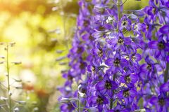 Blomstra riddarsporre i fältet royaltyfria bilder