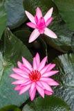 blomstra rosa lotusblommor eller näckrons, som är symboliska av buddism Royaltyfria Bilder