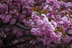 Blomstra rosa sakura träd på gatorna Arkivfoto
