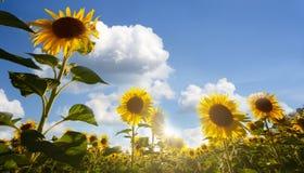 blomstra solrosor Arkivfoto