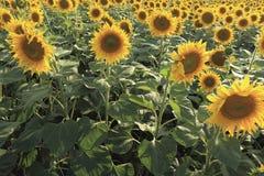 Blomstra solrosor i fältet, bakgrund Fotografering för Bildbyråer