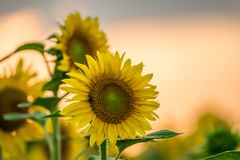 Blomstra solrosor på solnedgång Royaltyfria Bilder