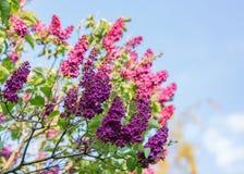 Blomstra syringaen Lila filial i v?r Violetta florets av den lila våren i trädgård royaltyfri bild