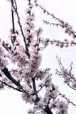 Blomstra trädäppleträdet i vår Royaltyfri Fotografi