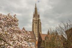 Blomstra trädet i bakgrund vår dam Church - Brugge, Belgien. Royaltyfri Foto