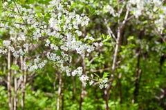 Blomstra trädet i vårskog Arkivfoton