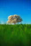 Blomstra trädet vid våren på lantlig äng Arkivfoton