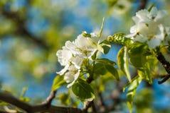 Blomstra trädgården för äpplefilial på våren Arkivbild