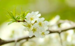 Blomstra trädgården för plommon på våren Arkivbild