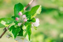 Blomstra trädgården i vårdag, blommor av äppleträdet väcka natur arkivfoton