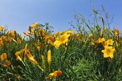 blomstra trädgårds- liljar royaltyfria foton