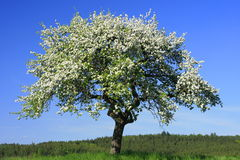 blomstra tree Royaltyfri Foto