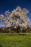 blomstra tree Fotografering för Bildbyråer
