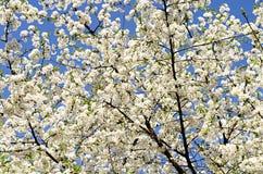 Blomstra tree Arkivbilder