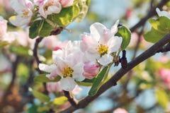 blomstra tree för äpple Royaltyfria Foton