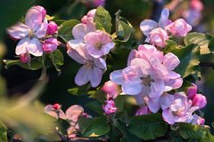 blomstra tree för äpple Arkivbild