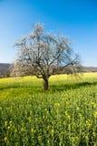 Blomstra tree i fjäder royaltyfria foton