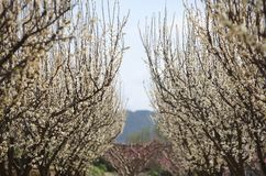 Blomstra trees Arkivfoton