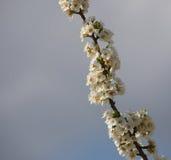 Blomstra trees Arkivbild