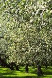 blomstra trees för äpple Fotografering för Bildbyråer
