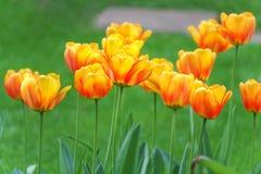 Blomstra tulpan i vår Arkivbilder