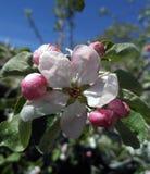 Blomstra upp blomman för äppleträd, slut Fotografering för Bildbyråer