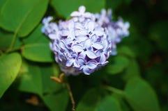 Blomstra upp lila slut suddighet bakgrund Arkivfoton