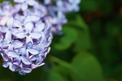 Blomstra upp lila slut suddighet bakgrund Arkivfoto