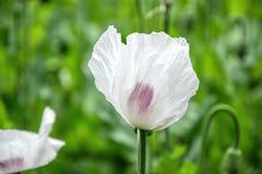 Blomstra vallmoblommor BlomningVallmo-huvud fält Arkivbild