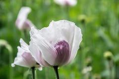 Blomstra vallmoblommor BlomningVallmo-huvud fält Royaltyfri Fotografi