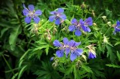 Blomstra vildblommapelargonfältet Royaltyfri Bild