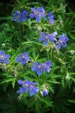 Blomstra vildblommapelargonfältet Arkivfoton