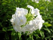 blomstra white Arkivfoto