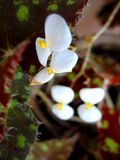 blomstra white Royaltyfria Foton