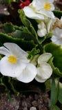blomstra white Fotografering för Bildbyråer
