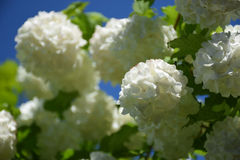 blomstra white Arkivbilder