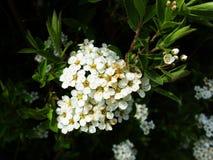 blomstra white Arkivbild